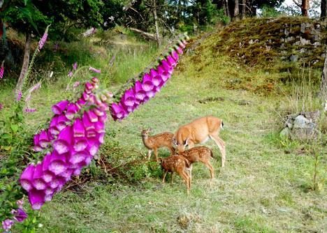 Deer don't eat foxgloves