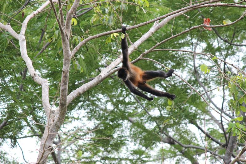 Spider monkey at Casa Uvita--a rare treat!