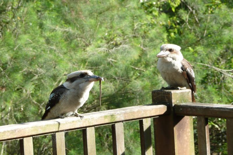 Tame Kookaburras on verandah
