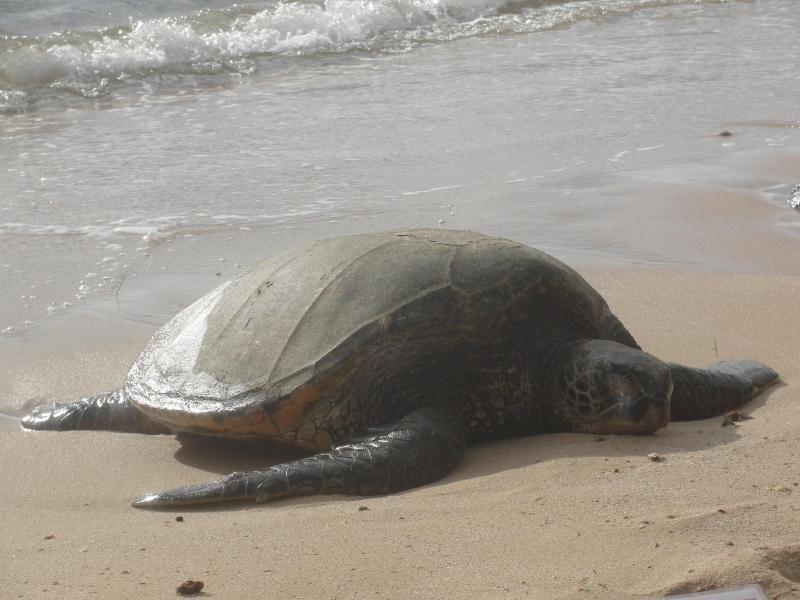 Green Sea Turtle sun bathing at the beach