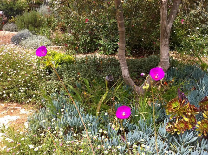 Olive tree in the Mediterranean cottage garden