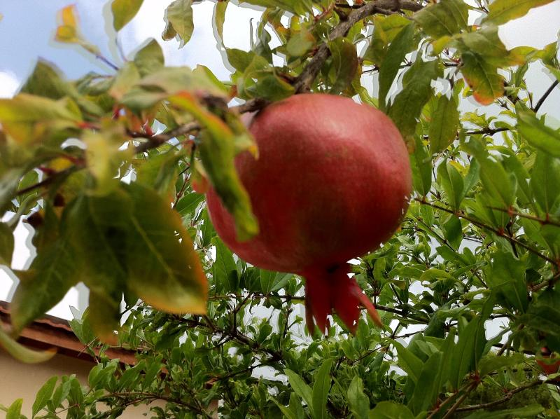 Rosh Hashanah pomegranates