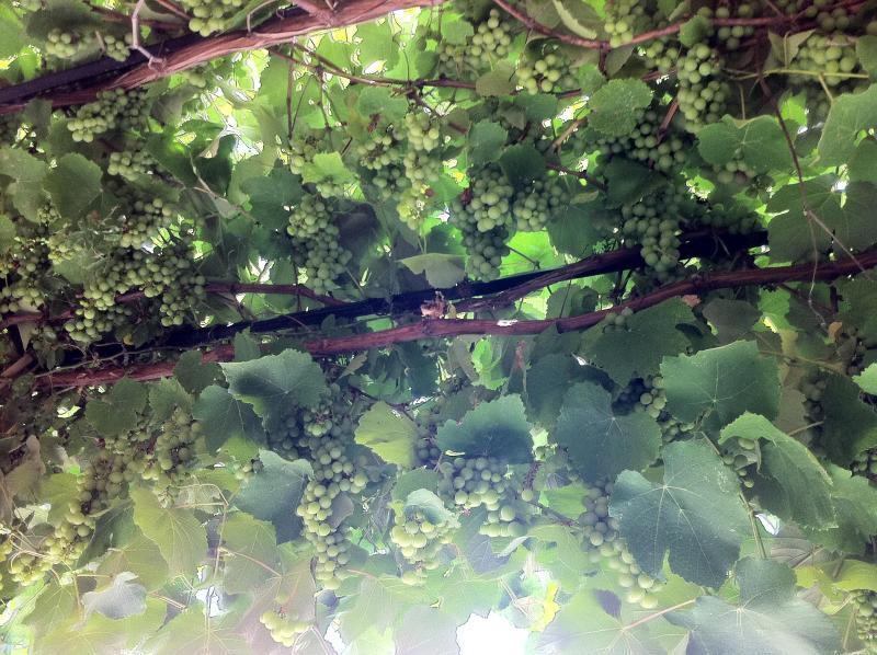 Organic autumn grapes on the hanging pergola.