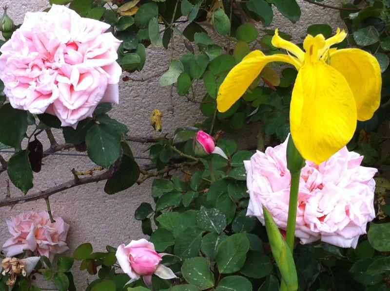 Spring roses and water iris blooming in the garden pond.