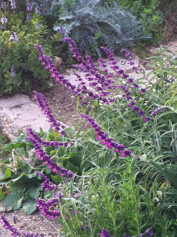 Velvet sage welcomes you on your way to the cottage garden.