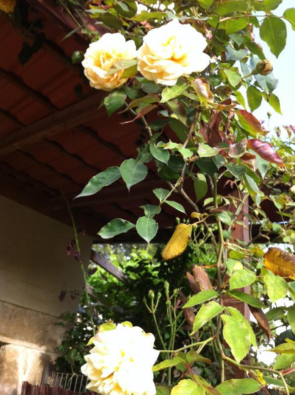 Fragrant antique roses on the cottage veranda.