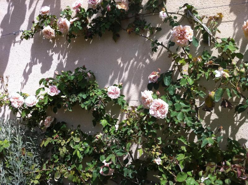 Antique roses bloom behind the garden pond.