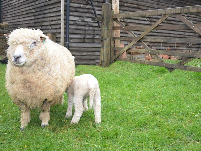 Meet the owners friendly sheep