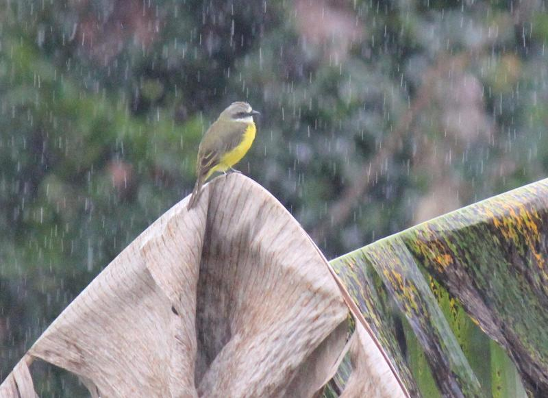 Flugsnappare sitter i regnet