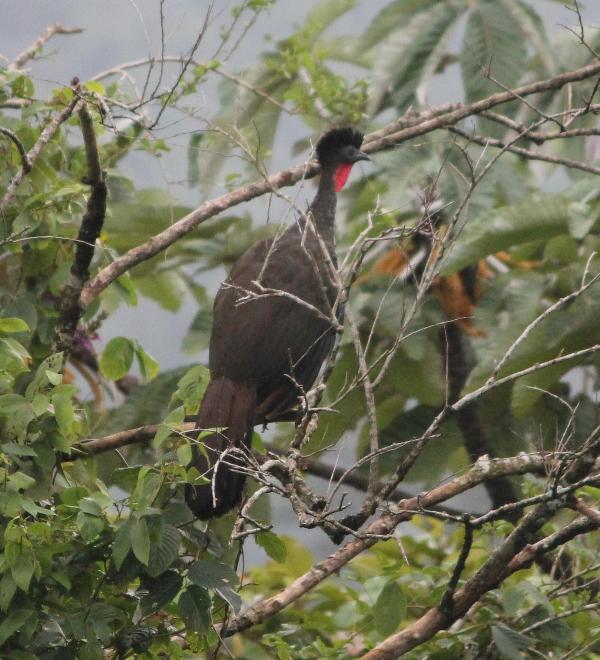 Wild turkey i Guarumo träd