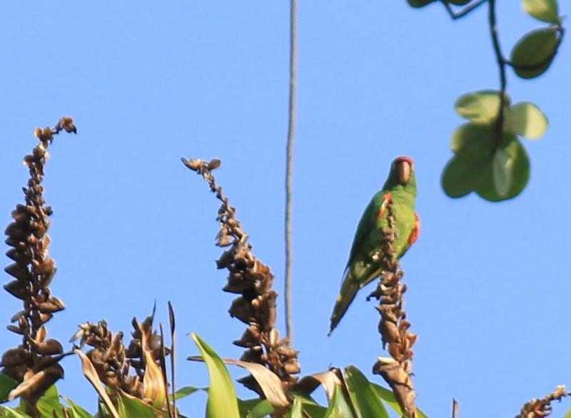 Papegoja i Ceiba trädet