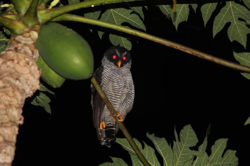 Buho i papaya träd