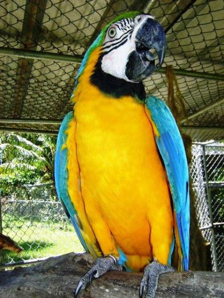 Blue/yellow macaw 'Marlis' is one of the over 850 birds from the small private bird park