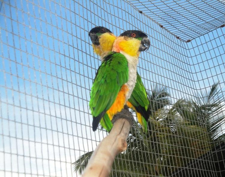 Black headed caiquees and many more to see