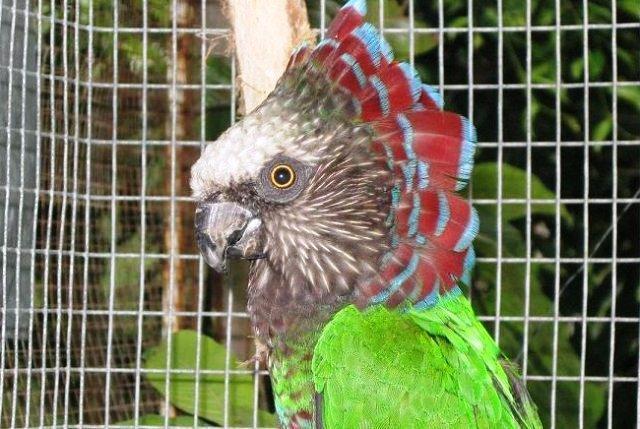 Hawk parrots - fun to watch dem dance!