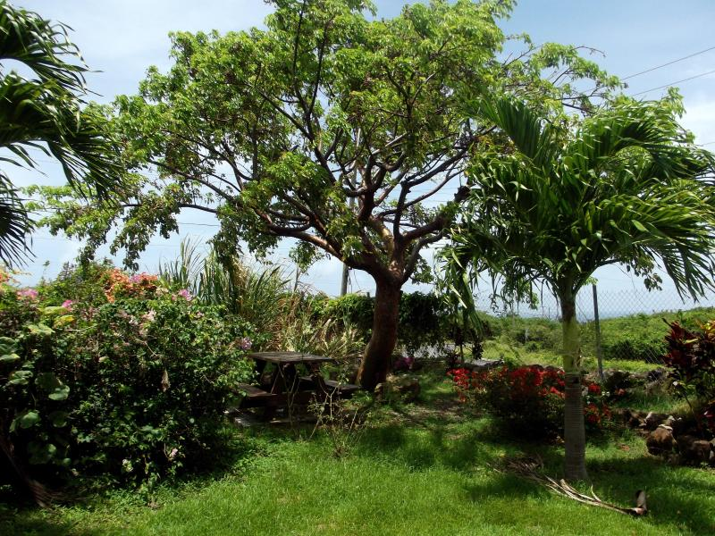 The gum tree with the picnic table, listening to the rustling of the banana trees and sugar cane.