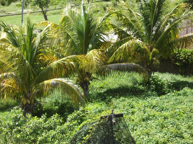 Coconut trees that you can pick off the tree (if there are any to be picked). Enjoy coconut milk too