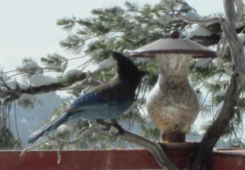 Stellar Blue Jays, Woodpeckers, Mountain Quail, Red tail Hawks and many other birds come here.
