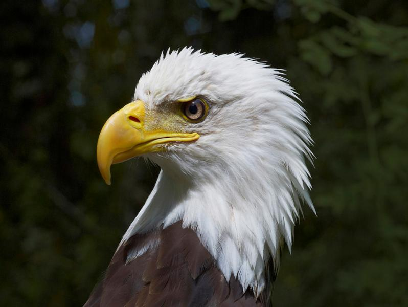 Eagles perch regally in our trees and soar over our property