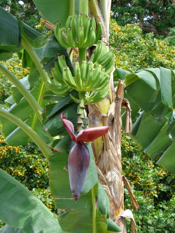 Bananier dans le jardin