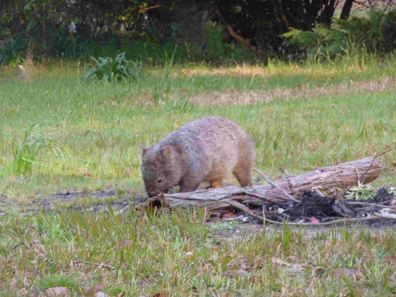 Wombat on property, drive slowly at night