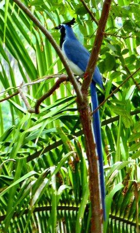Several families of long-tailed blue jays live on the property.  They share their home with you.