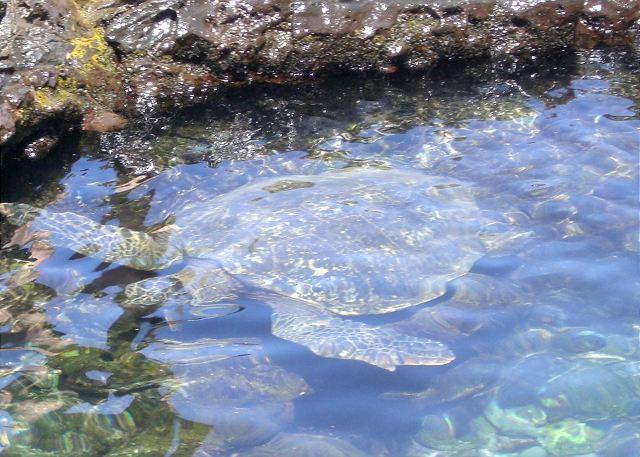 Turtle underwater in park tide flats
