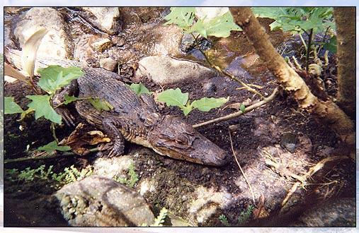 An alligator farm at the resort near Tabacón