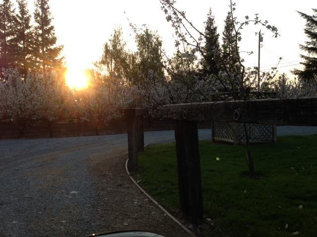 Sun rising over Cherry trees