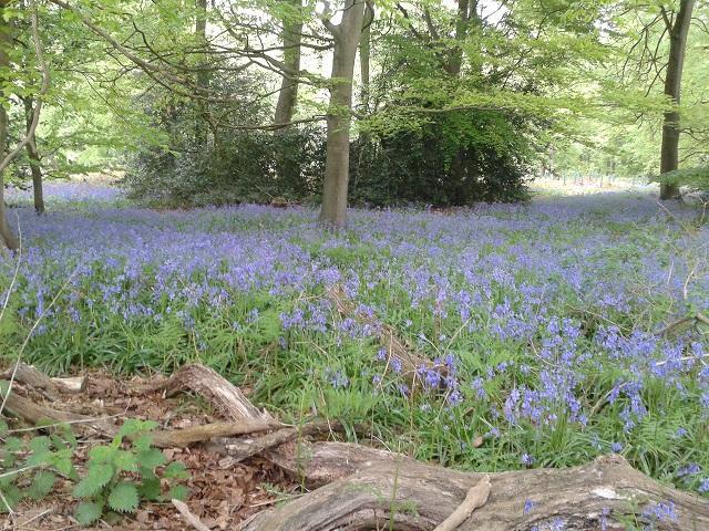 Bluebells in May, growing in Morgans Wood behind us.