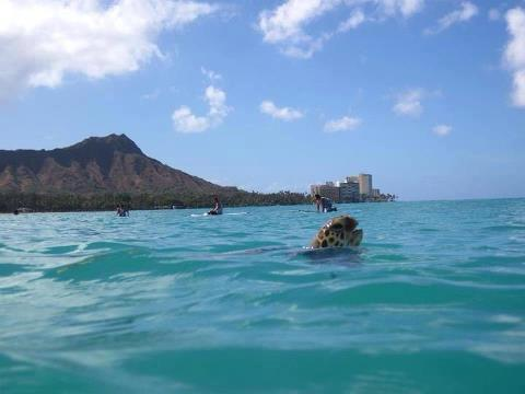 Sea Turtle surfing Waikiki