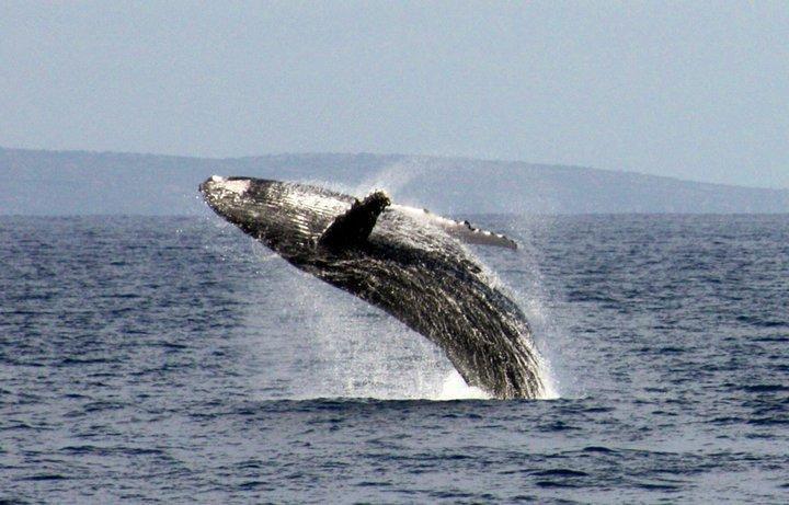 Maui Whale. Whales arrive in late October and leave in early May.