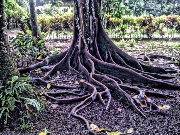 Árboles de Matapalo