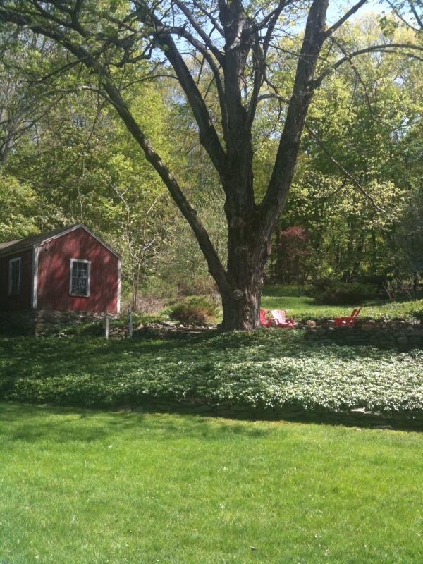 Garden with massive maple tree