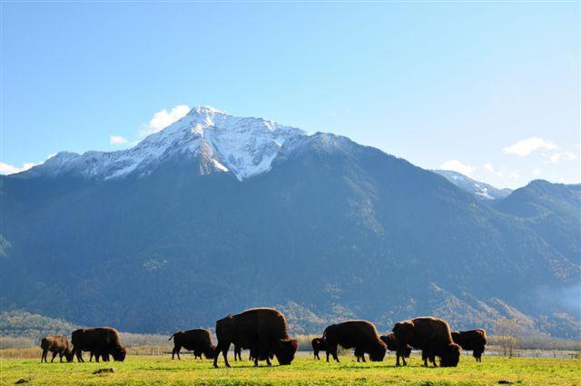 Rebanho de bisão selvagem de roaming ao longo do Rio