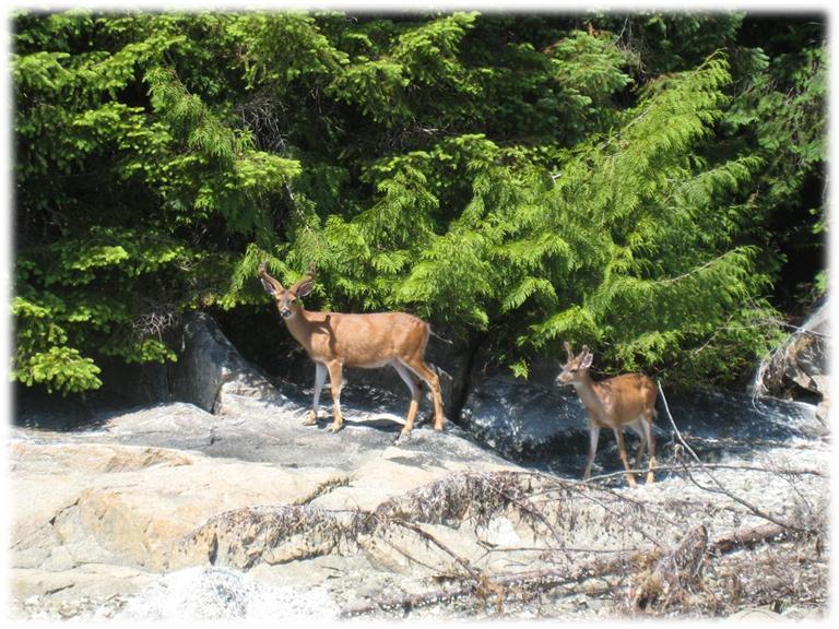 Ciervos en la playa debajo de Wilcox Lodge