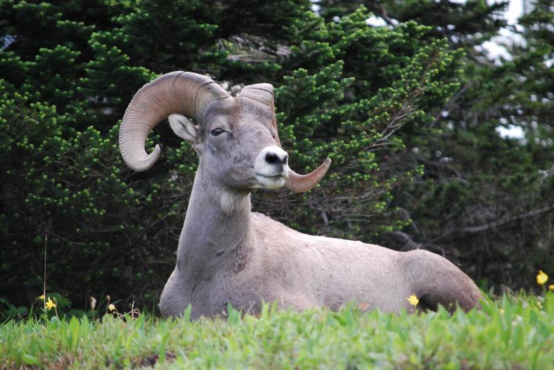 Fauna selvatica del parco nazionale del ghiacciaio