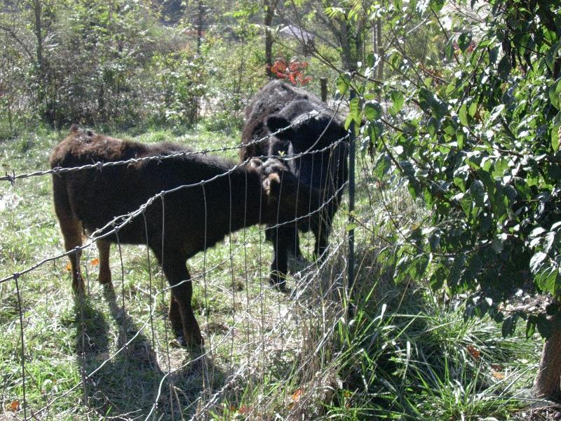 Vacas en día de verano