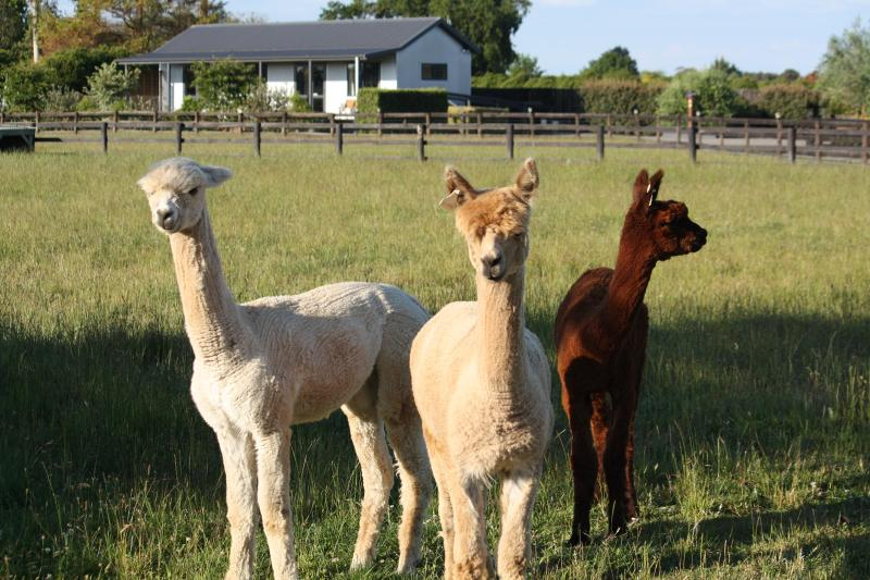 Tom, Dick & Harry - our pet alpacas