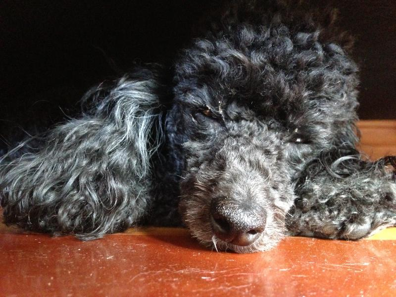 Tilly our 3.5kg Toy Poodle