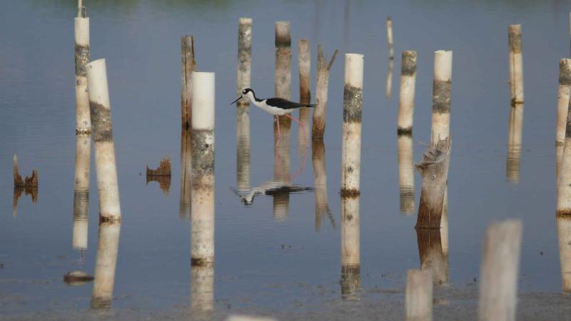 Black-necked Stilt at Cabo Rojo National Wildlife Refuge