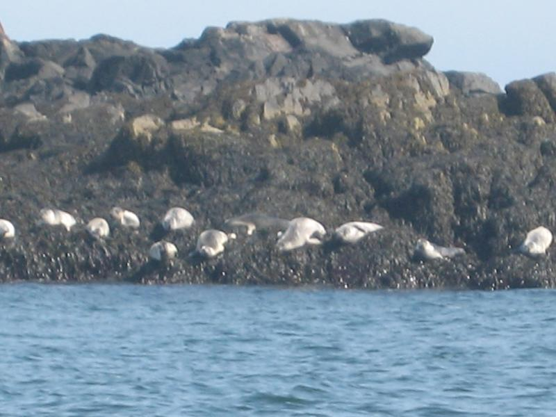 Seals seen from local fishing boat