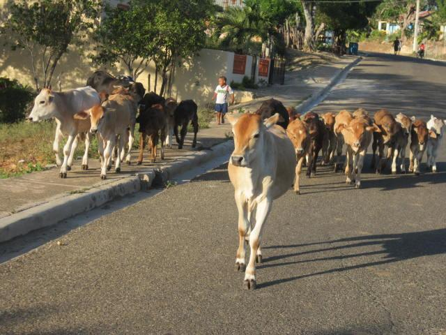 Cows being herded through the streets