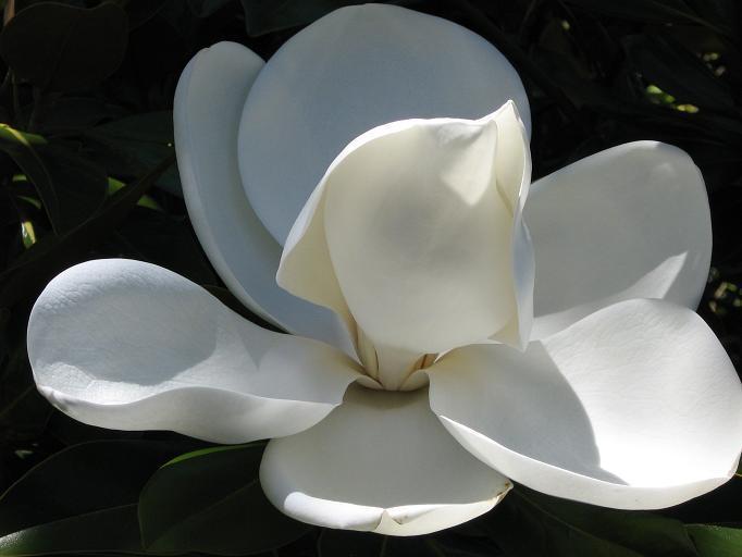 Magnolia Grandiflora en Glenbriar