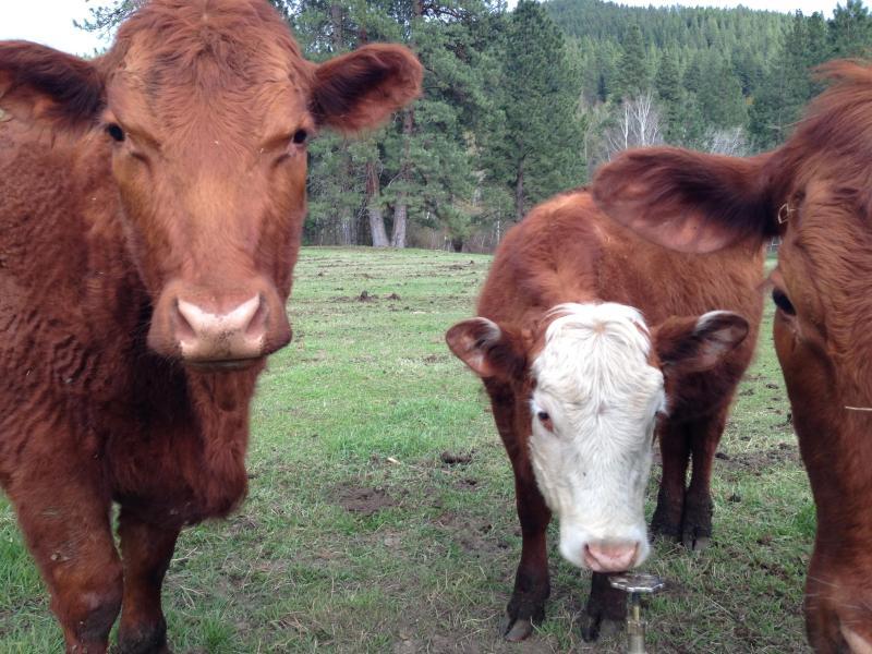 Lokale Kühe