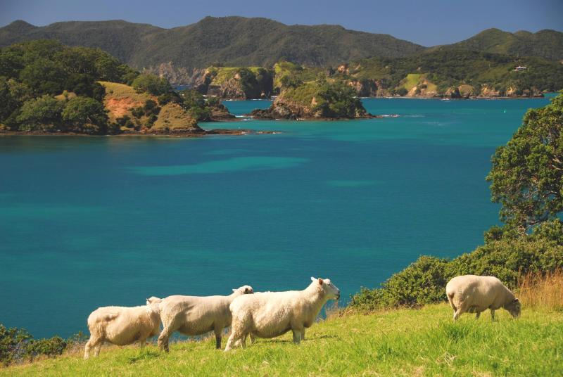 Sheep Grazing on the Headlands Moturoa Island