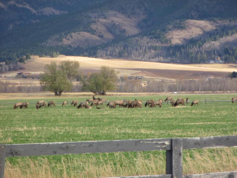 Un troupeau de wapitis a quelques kilomètres de la ville
