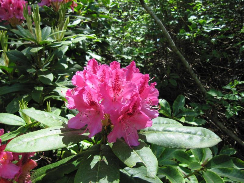 May Rhododendron