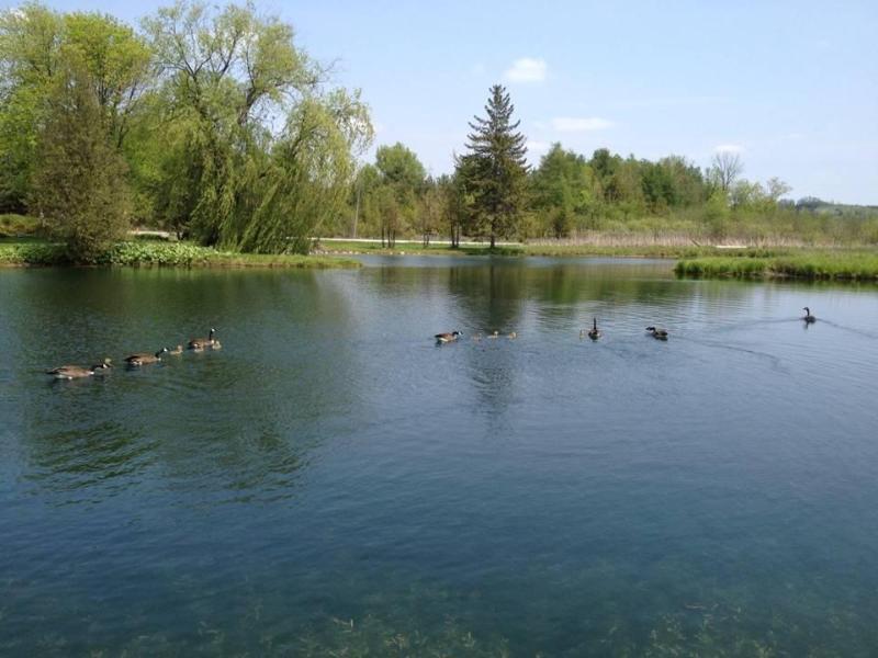 Canada geese make visits