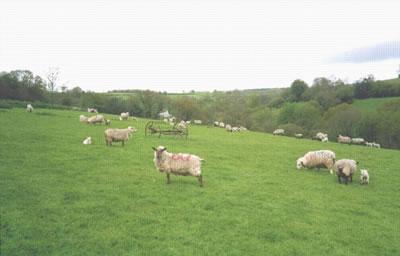 sheep grazing the Yarty yalley near cabin